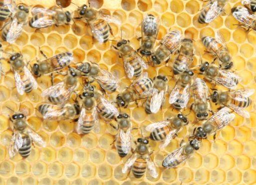 Buckfast_bee.jpg